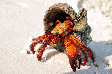 Hermit crab on the white sand trying to get back to the water