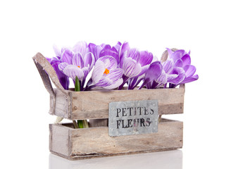 Foto auf Acrylglas Krokusse purple crocus flowers in a wooden crate with text isolated over