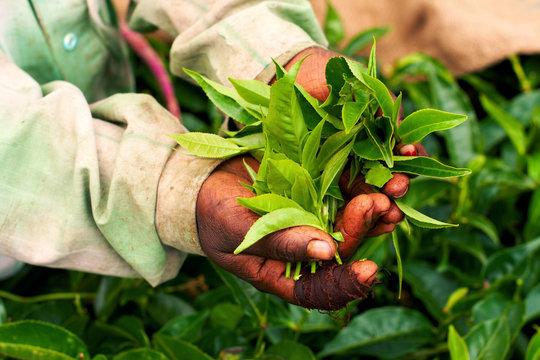 Old hand holding tea leaf