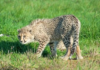 Wall Mural - Cheetah (A. Jubatus) cub stands scared