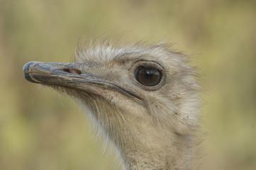 struzzo, Struthio camelus