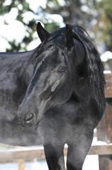 black Kladruber horse portrait in winter