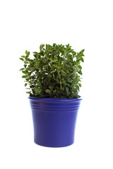 Oregano in  blue pot