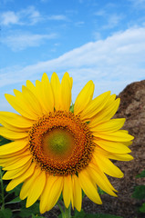 Sun Flower With Blue sky at Thailand