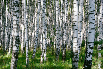Aluminium Prints Birch Grove Birchwood in sunny day