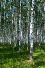 Spoed Foto op Canvas Berkbosje Birchwood in sunny day