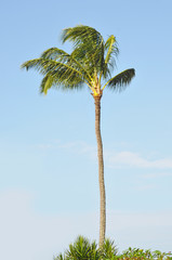 Tropical Palm Tree against a blue sky