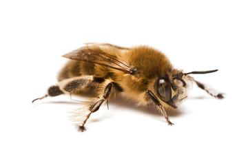 Wild Bee