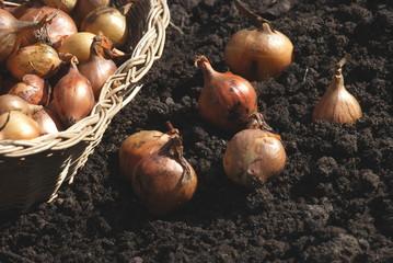 Steckzwiebel  (Allium) Saatgut