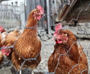 Les poules.