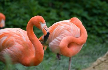 Pink flamingo - Vienna zoo