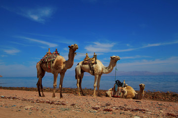 Camels beside the Red Sea