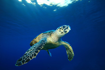 Hawksbill Sea Turtle on blue background