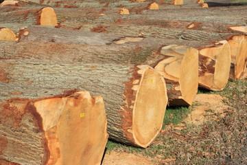 gefällte Bäume zum Abtransport liegend