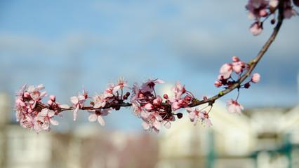 Blooming sakura in Redmond - 2011,2