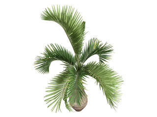 Bottle Palm (Hyophorbe lagenicaulis)