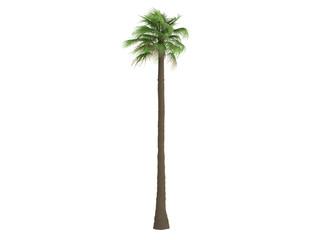 Desert Fan Palm (Washingtonia filifera)