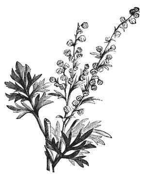 Absinthe plant, Artemisia absinthium or wormwood engraving
