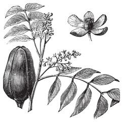 Mohagany or Meliaceae. Melia azedarach illustration