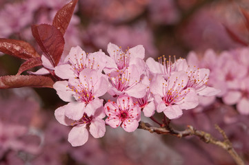 pink blossom on cherry tree in spring sunshine