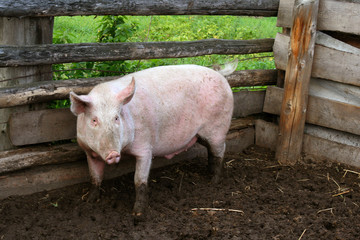 Pig on a farmstead
