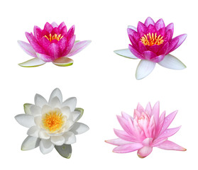 Water Lily Collection