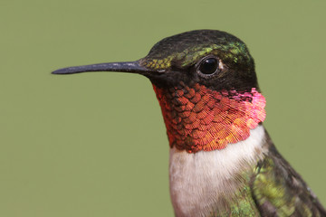Fotoväggar - Ruby-throated Hummingbird