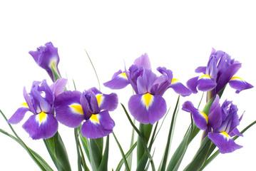 オランダアイリスの花
