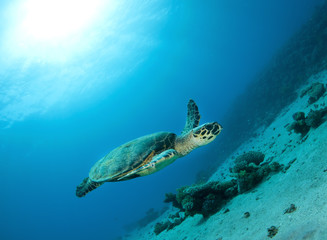 hawksbill sea turtle swims in clear blue ocean