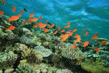 Anthias fish on coral reef
