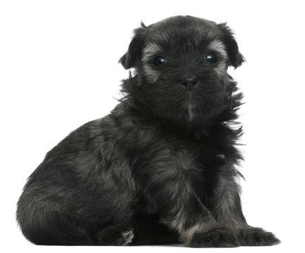 Lowchen or Petit Chien Lion puppy, 3 weeks old, sitting