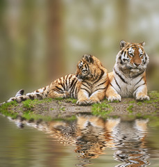 Beautiful image of tigress relaxing on grassy hill with cub refl