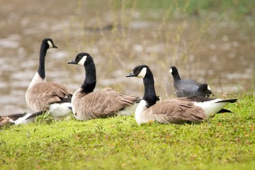 Goose Flock