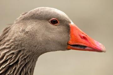 Toulouse Goose Portrait