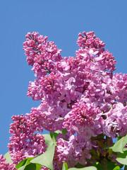 Sprig of lilac blossoms against the blue sky