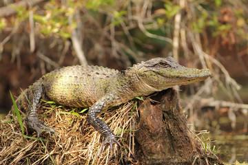 Alligator Basking on a Stump - Okefenokee Swamp, Georgia