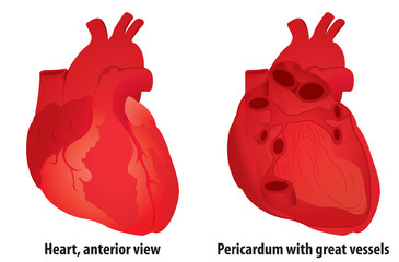 Anatomy: Human Heart (CS4)