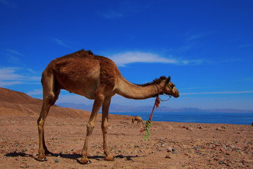 Camel beside the Red Sea