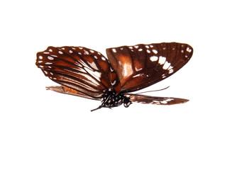 Butterfly Anosia Affinis isolated on white