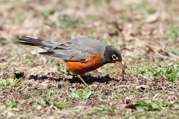 Fototapete - American Robin (Turdus migratorius)