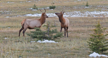 Two young male elks, cervus canadensis