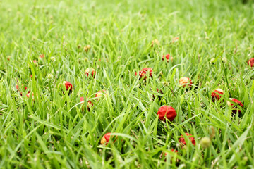 Grass field with small red seeds