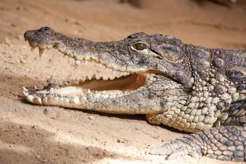 Door stickers Crocodile Krokodil mit offenem Maul