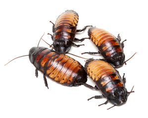 four Madagascar cockroaches