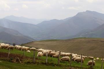 Moutons du Pays Basque broutant de l'herbe