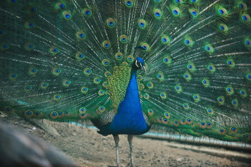 peacock bird closeup background