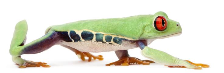 Red-eyed Treefrog, Agalychnis callidryas, walking