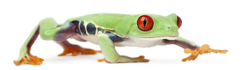 Red-eyed Treefrog, Agalychnis callidryas, walking