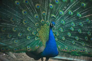 peacock bird closeup background