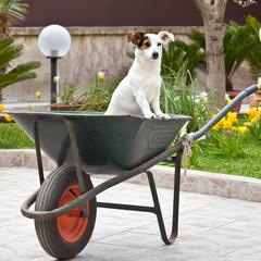 Cane nella carriola